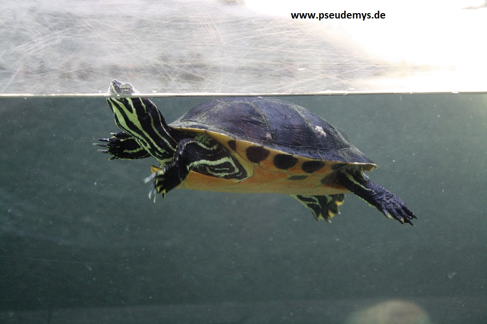 Florida-Rotbauch-Schmuckschildkröte, Pseudemys nelsoni