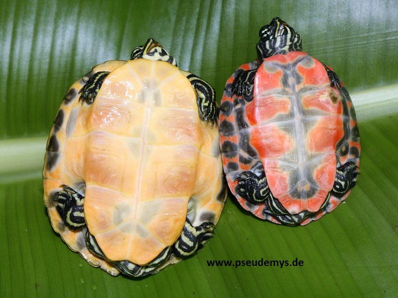 Links Florida-Rotbauch-Schmuckschildkröte (Pseudemys nelsoni) und rechts Nördliche Rotbauch-Schmuckschildkröte (Pseudemys rubriventris)