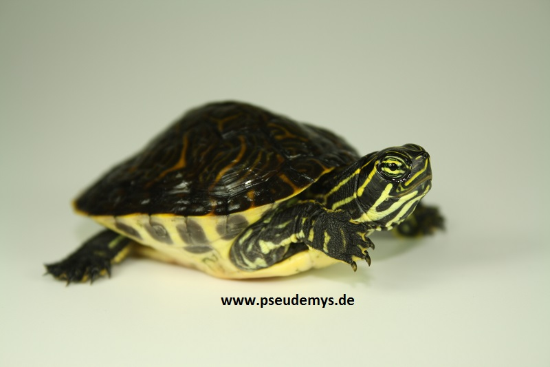 Peninsula-Schmuckschildkröte, Pseudemys peninsularis