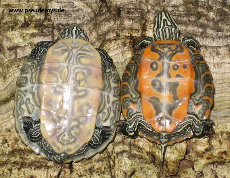 Nördliche Rotbauch-Schmuckchildkröte